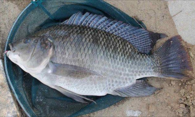 Budidaya Ikan Nila di Kolam Tanah Bagi Pemula (PANEN)