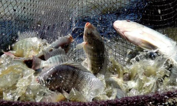 Cara Budidaya Ikan Nila Di Kolam Terpal Pdf ...