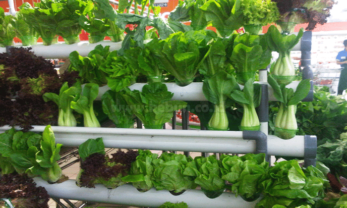 Usaha Pertanian : Peluang yang Cepat Menguntungkan