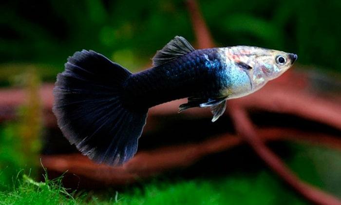 Budidaya Ikan Guppy : Panduan Cara Mudah untuk Pemula