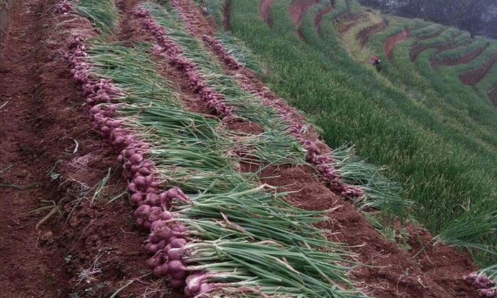 pasca panen bawang merah