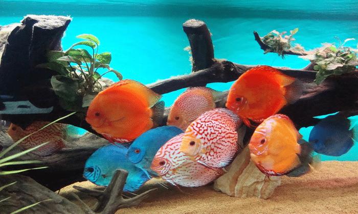 Budidaya Ikan Discus Dengan Baik Bagi Pemula Sukses