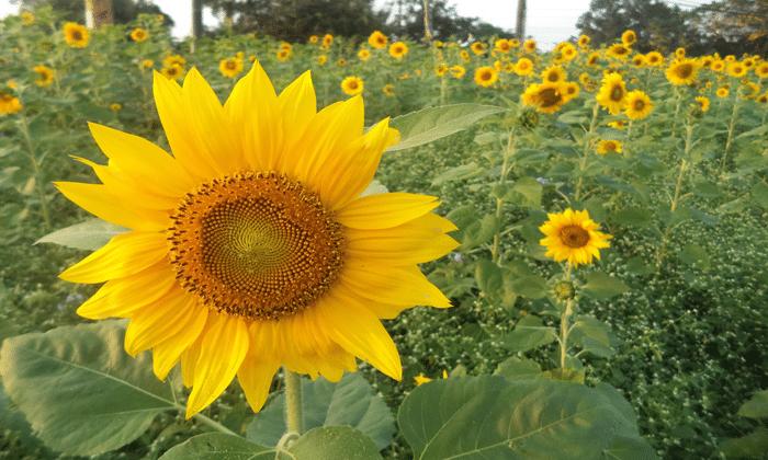 Cara Menanam Bunga Matahari Bagi Pemula Simpel