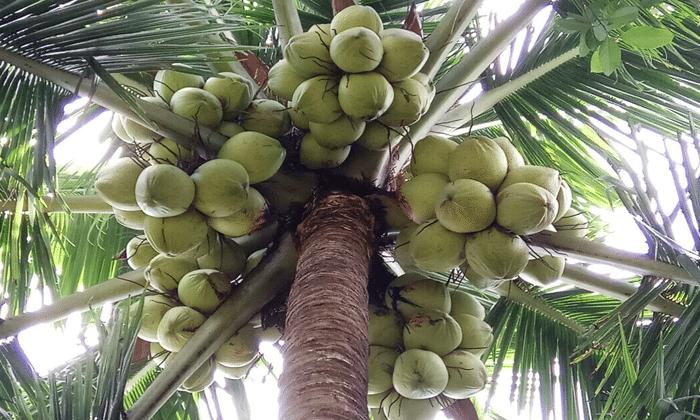 Cara Mudah Menanam Pohon Kelapa Serta Manfaatnya