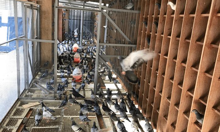 Makanan Burung Merpati Tinggi Balap Dan Kolong