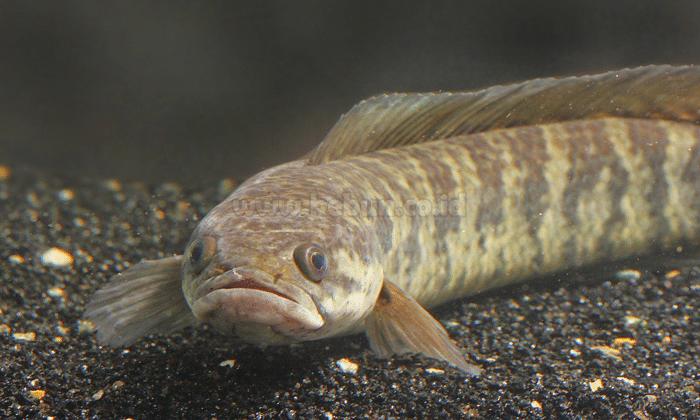 Budidaya Ikan Gabus Bagi Pemula Panduan Lengkap