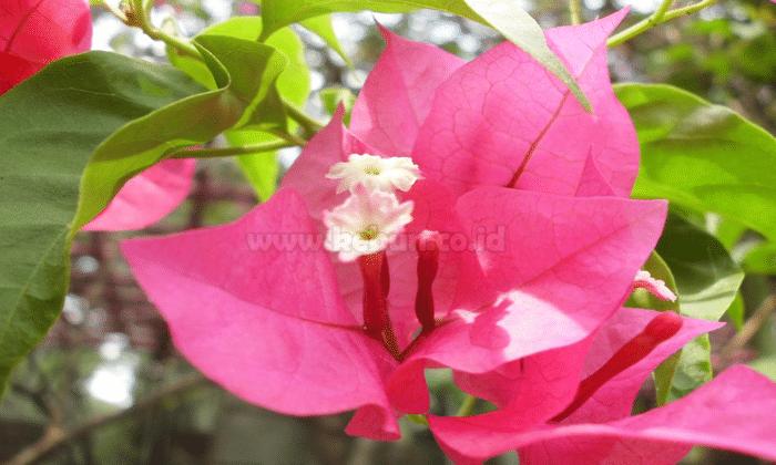 Cara Menanam Bunga Kertas Dengan Mudah Bagi Pemula