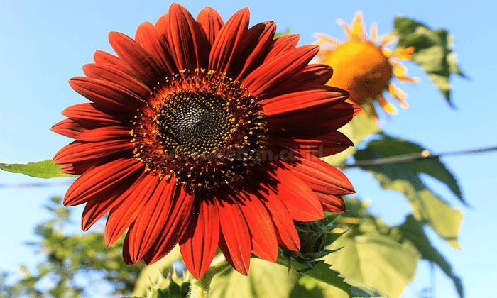 Cara Menanam Bunga Matahari Velvet Queen Bagi Pemula