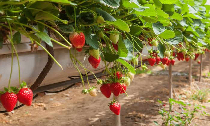 Budidaya Strawberry Tanpa Tanah Soilless Ramah Lingkungan