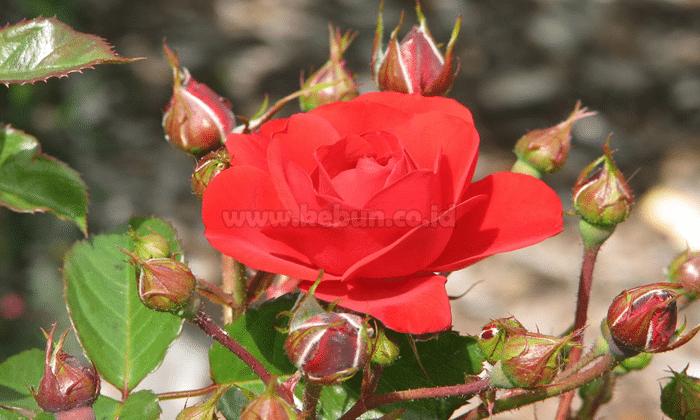 Cara Pengendalian Penyakit Dan Hama Pada Bunga Mawar