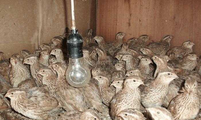 Cara Ternak Burung Puyuh Agar Sukses Bagi Pemula