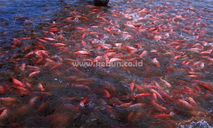 Cara Beternak Ikan Nila : Metode, Penebaran, Pemeliharaan Dan Panen