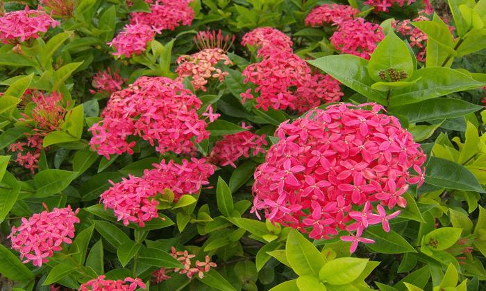 Panduan Cara Menanam Bunga Asoka Dengan Benar oleh - seputarperkebunan.xyz