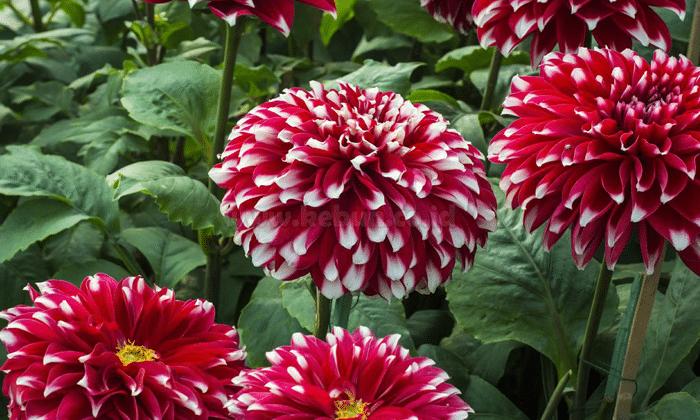 Panduan Cara Menanam Bunga Dahlia Dengan Benar oleh - seputarperkebunan.xyz